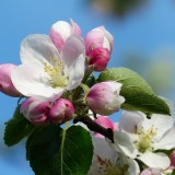 apple-blossom-116409_1920.th.jpg