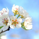 apple-blossoms-1368187_1920.th.jpg