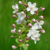 apple-blossoms-55773_1920.th.jpg