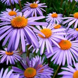 aster-tongolensis-57764_1280.th.jpg
