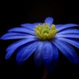 balkan-anemone-56414_1920.th.jpg