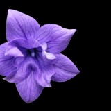 balloon-flower-1338918_1920.th.jpg