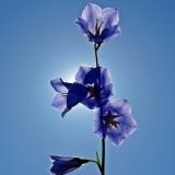 bellflower-1411992_1920.th.jpg