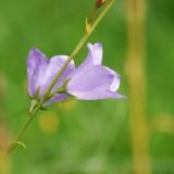 bellflower-373106_1920.th.jpg