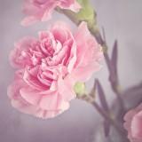 carnation-1323882_1920.th.jpg