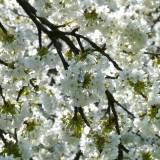 cherry-blossom-6877_1920.th.jpg