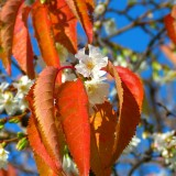 cherry-blossoms-222370_1920.th.jpg