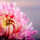 chrysanthemum-202483_1920.th.jpg