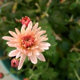 chrysanthemum-998364_1920.th.jpg