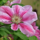 clematis-1424855_1920.th.jpg