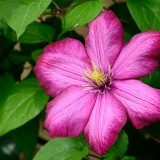 clematis-793754_1920.th.jpg