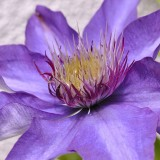 clematis-797738_1280.th.jpg