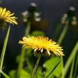 common-dandelion-331701_19201.th.jpg