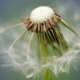 common-dandelion-335662_1920.th.jpg