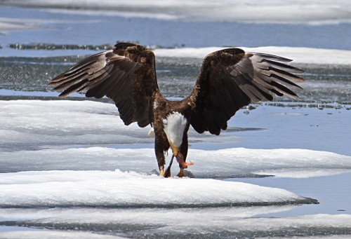 bald-eagle-867801_1280.md.jpg