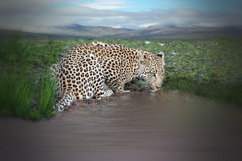 leopard-1227247_1280.md.jpg