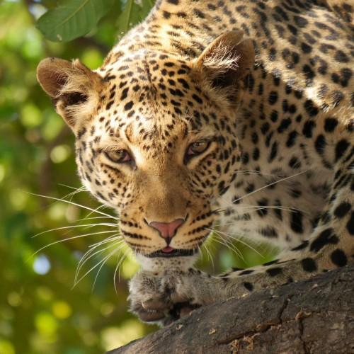 leopard-226136_1920.md.jpg
