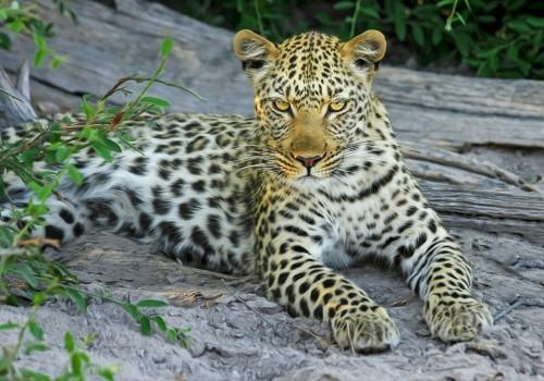 leopard-515508_1280.md.jpg