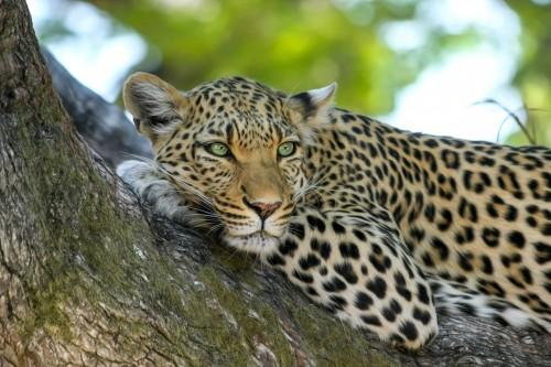 leopard-515509_1280.md.jpg