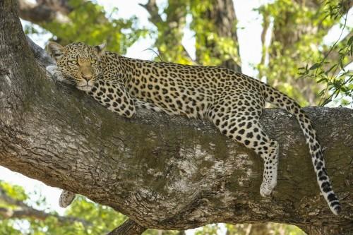 leopard-518210_1920.md.jpg