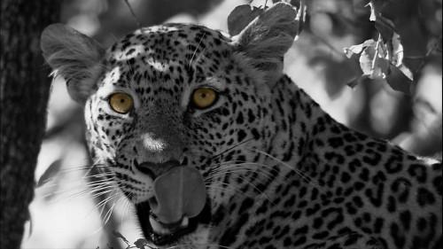 leopard-532058_1280.md.jpg
