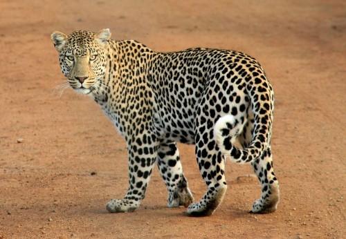 leopard-592187_1920.md.jpg