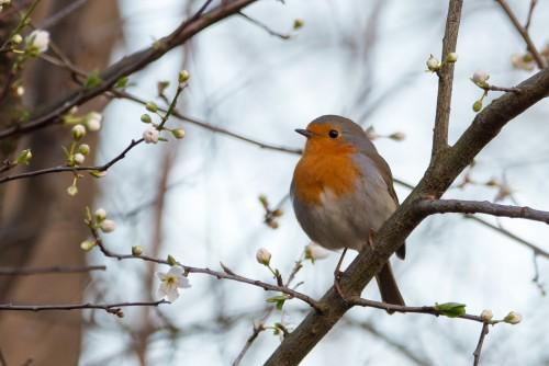 RobinErithacusRubeculaSongbirdKusKucukKus.md.jpg