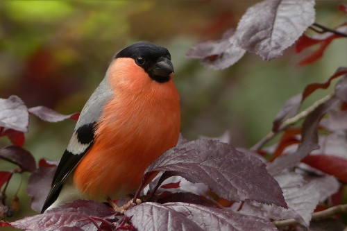 bullfinch-818188_1920.md.jpg