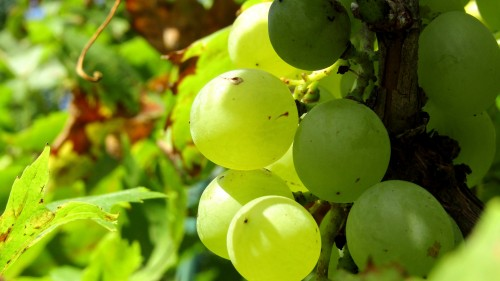 grape-2033922_1920.md.jpg