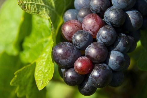 grapes-1293173_1920.md.jpg
