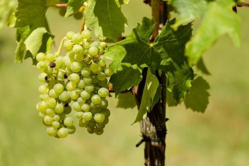 grapes-1611089_1920.md.jpg