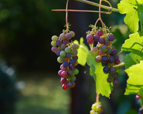 grapes-1659118_1920.md.jpg