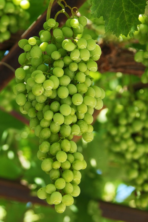 grapes-16801_1920.md.jpg