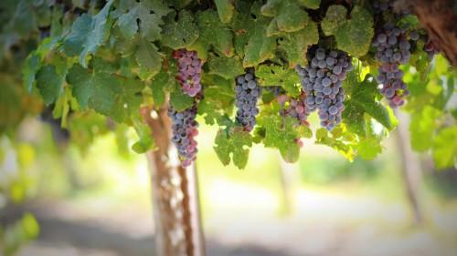 grapes-1844745_1920.md.jpg