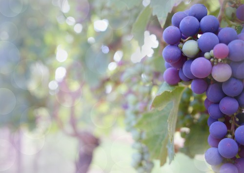 grapes-2180685_1920.md.jpg