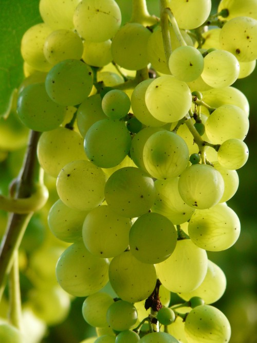 grapes-9218_1920.md.jpg