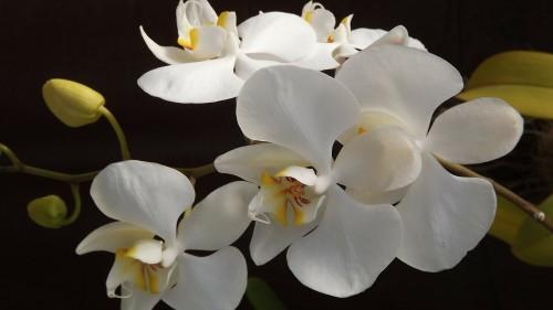 orquidea.md.jpg
