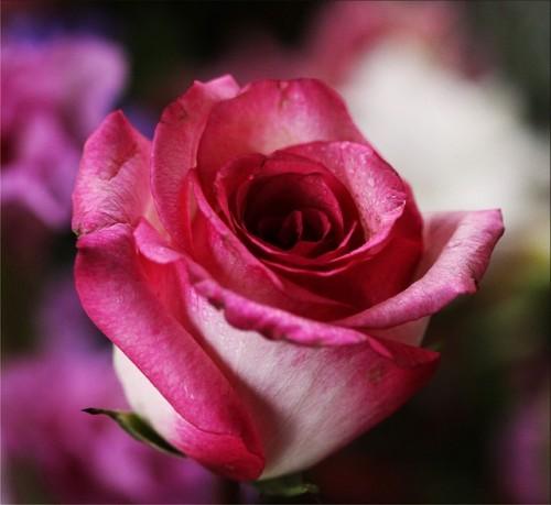 pink-rose-14798_640.md.jpg