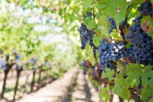 purple-grapes-553462_1920.md.jpg