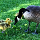 canada-goose-216003_1280.th.jpg