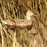 duck-197200_1920.th.jpg