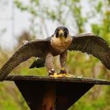 falcon-1316399_1280.th.jpg