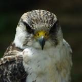falcon-664895_1920.th.jpg