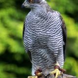 falcon-86281_1920.th.jpg