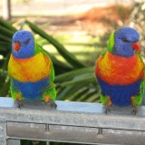 rainbow-lorikeet-1036386_1920.th.jpg
