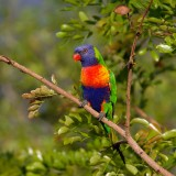 rainbow-lorikeet-420706_1280.th.jpg