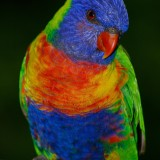 rainbow-lorikeet-671570_1920.th.jpg
