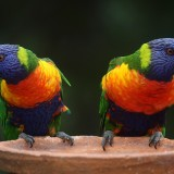 rainbow-lorikeet-686100_1920.th.jpg