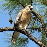 red-shouldered-hawk-1243386_1280.th.jpg