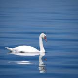 swan-173675_1280.th.jpg